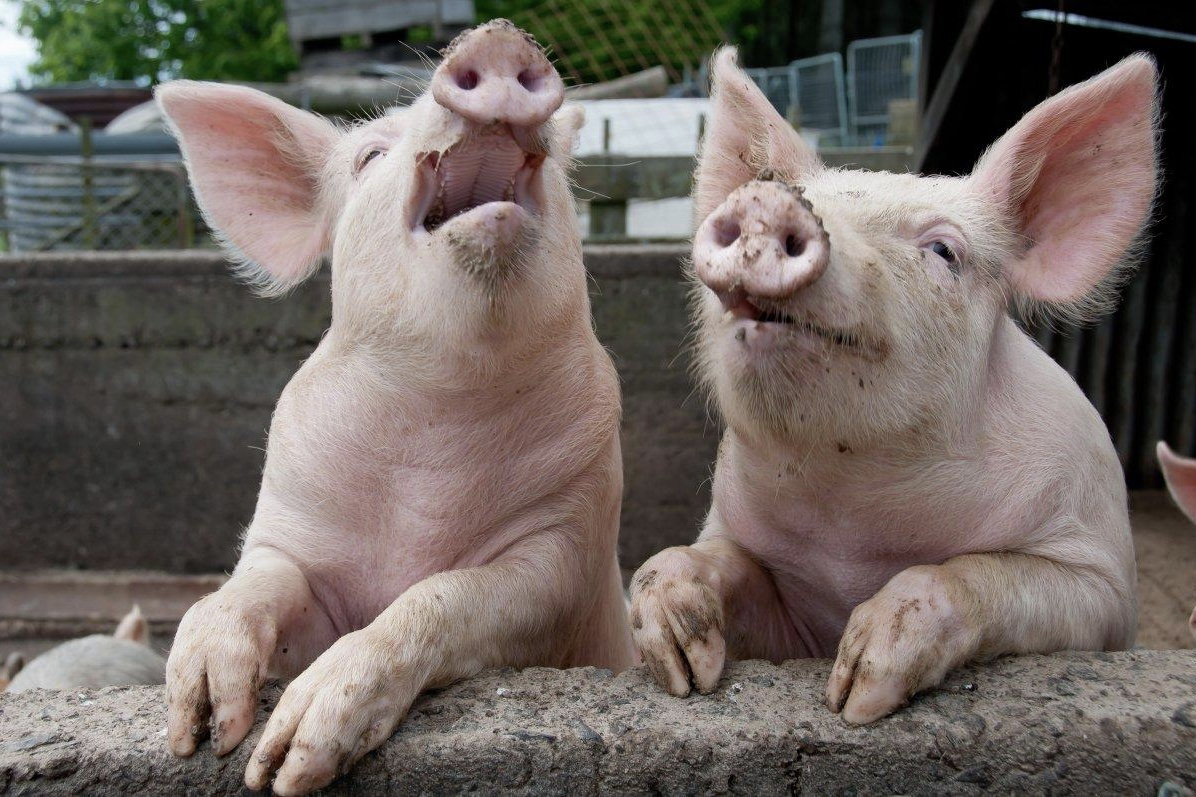 Pigs, Genetically Modified, News, Newsfeeds24.com, Newsfeeds24,  Animals, Science,Lifestyle,