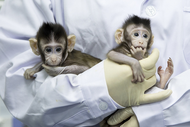 Video: China Creates The First Monkey Clones In A Laboratory 1