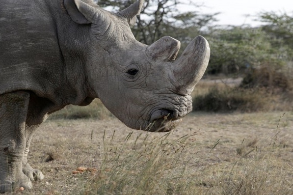 Farewell to the last male northern white rhino, a species extinct? 1